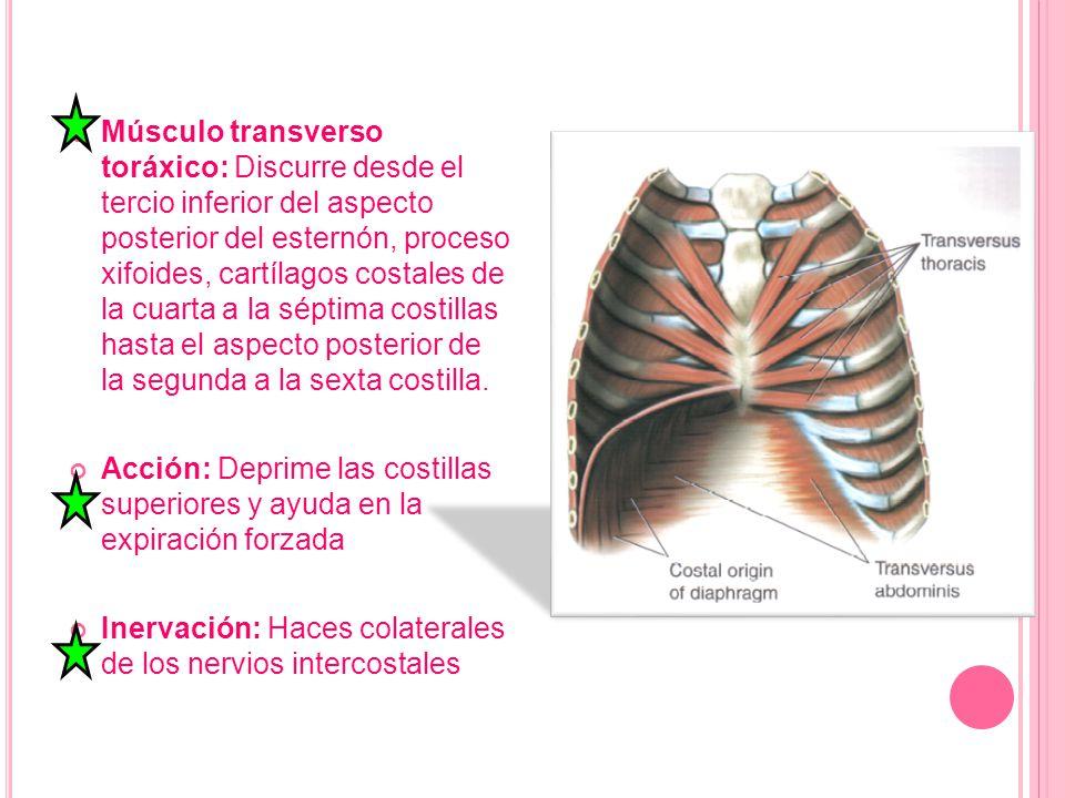Músculo transverso toráxico: Discurre desde el tercio inferior del aspecto posterior del esternón, proceso xifoides, cartílagos costales de la cuarta a la séptima costillas hasta el aspecto posterior de la segunda a la sexta costilla.
