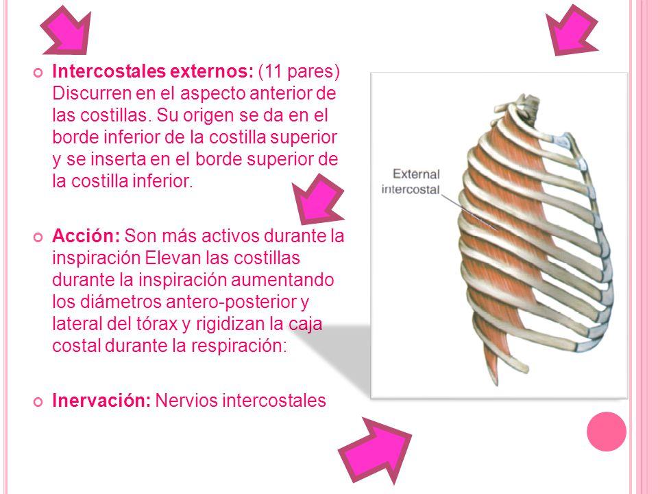 Intercostales externos: (11 pares) Discurren en el aspecto anterior de las costillas. Su origen se da en el borde inferior de la costilla superior y se inserta en el borde superior de la costilla inferior.