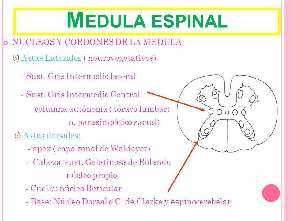 Medula espinal NUCLEOS Y CORDONES DE LA MEDULA
