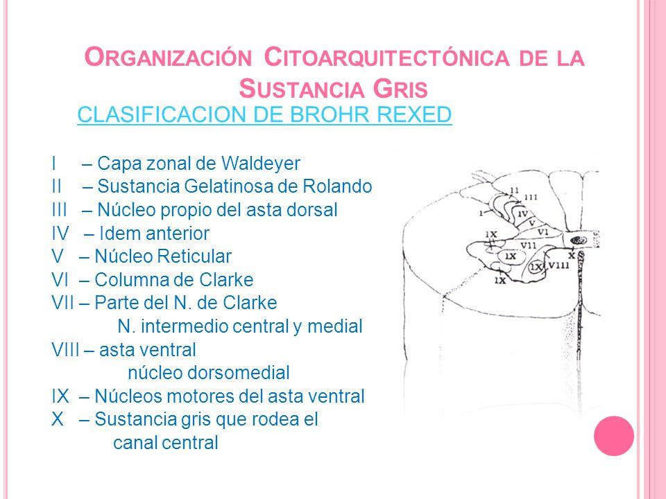 Organización Citoarquitectónica de la Sustancia Gris