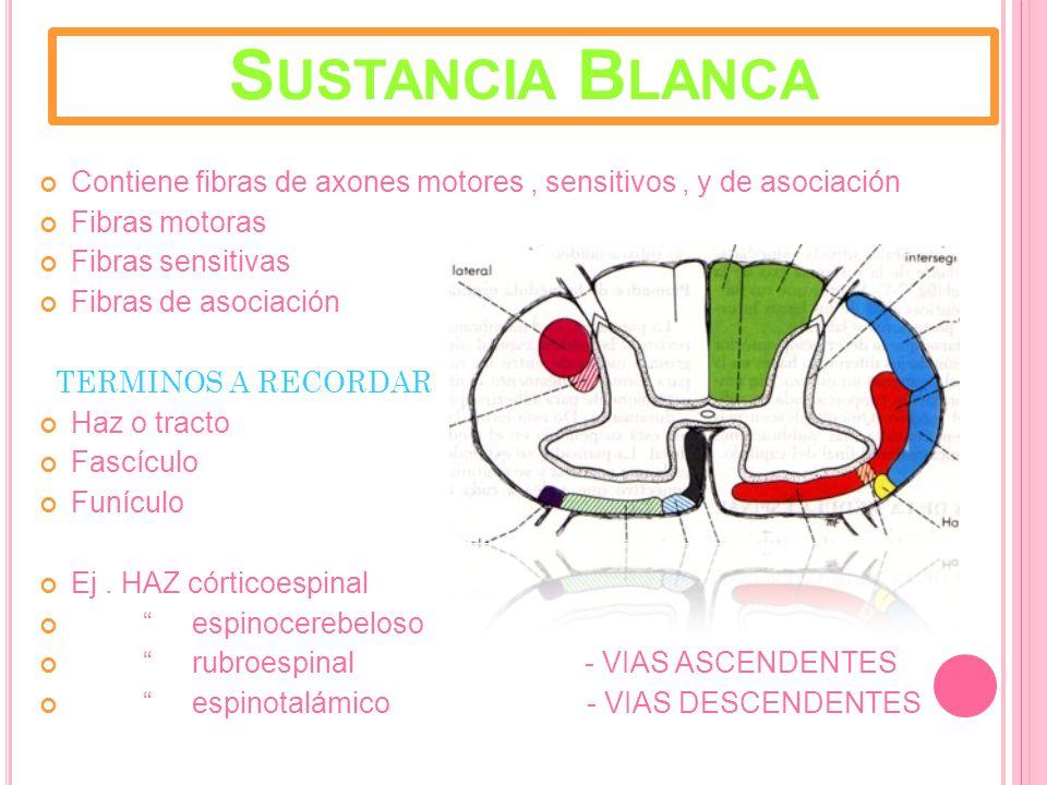 Sustancia Blanca Contiene fibras de axones motores , sensitivos , y de asociación. Fibras motoras.