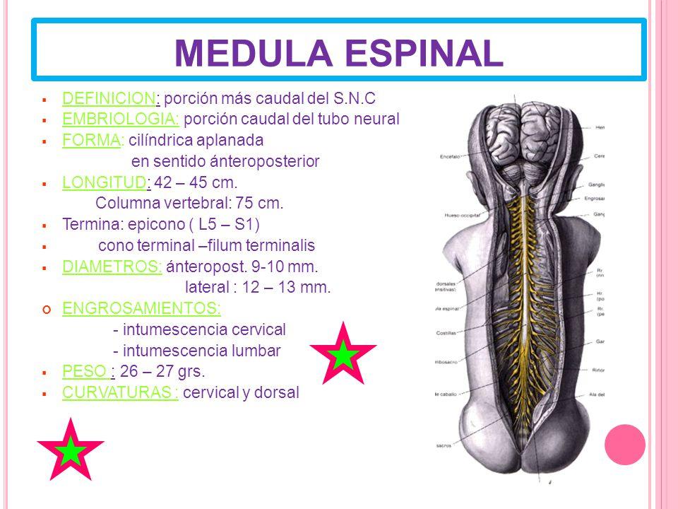 MEDULA ESPINAL DEFINICION: porción más caudal del S.N.C
