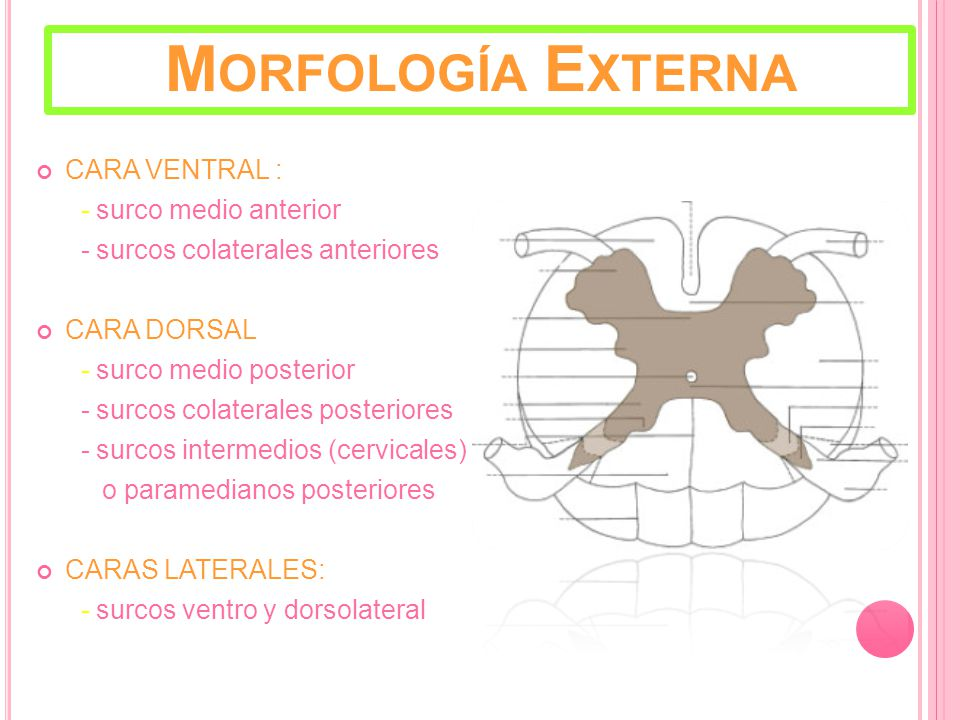 Morfología Externa CARA VENTRAL : - surco medio anterior