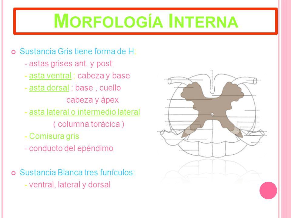 Morfología Interna Sustancia Gris tiene forma de H: