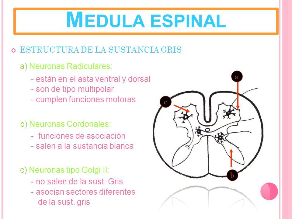 Medula espinal ESTRUCTURA DE LA SUSTANCIA GRIS