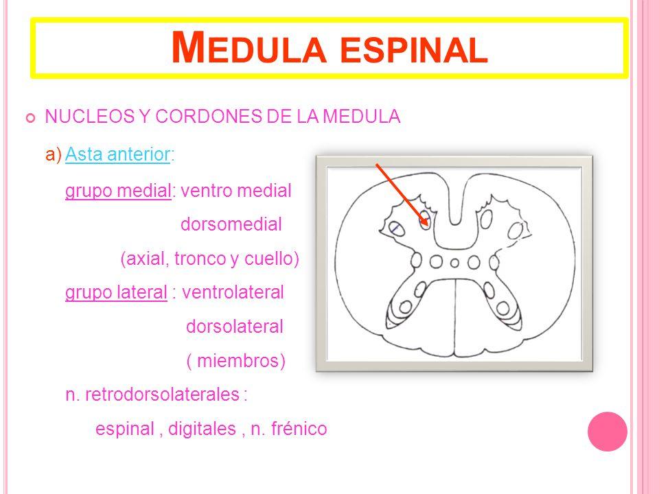 Medula espinal NUCLEOS Y CORDONES DE LA MEDULA a) Asta anterior: