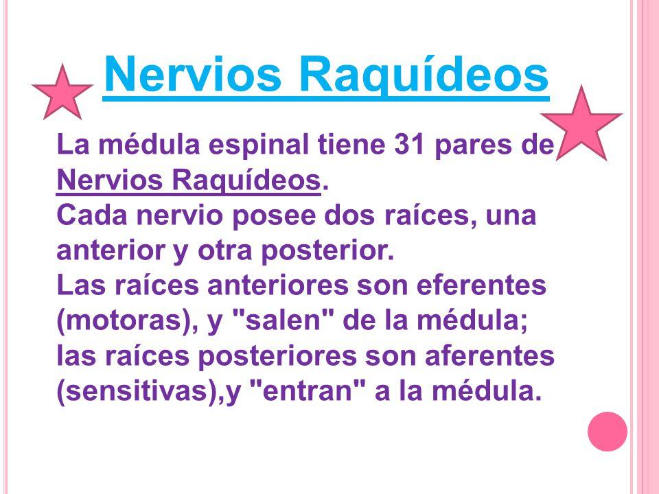 Nervios Raquídeos La médula espinal tiene 31 pares de