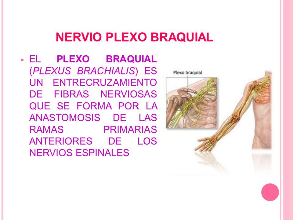 NERVIO PLEXO BRAQUIAL