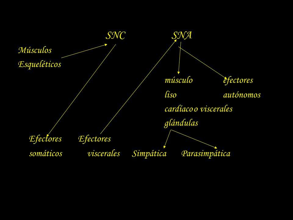 SNC SNA músculo efectores Efectores Efectores Músculos Esqueléticos