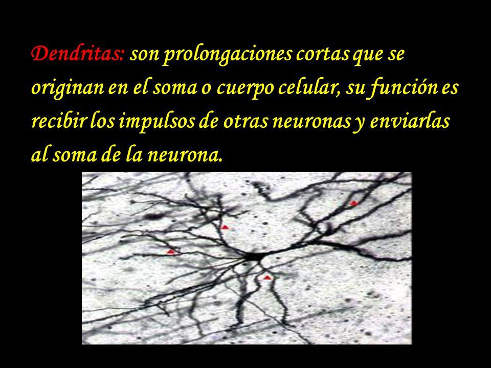 Dendritas: son prolongaciones cortas que se originan en el soma o cuerpo celular, su función es recibir los impulsos de otras neuronas y enviarlas al soma de la neurona.
