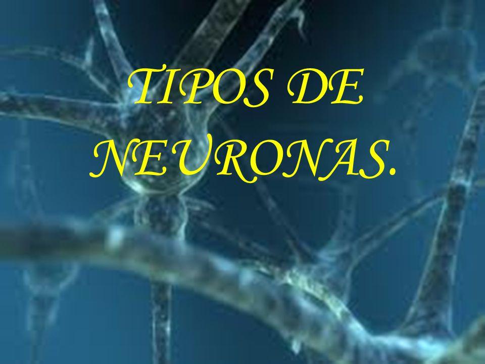 TIPOS DE NEURONAS.