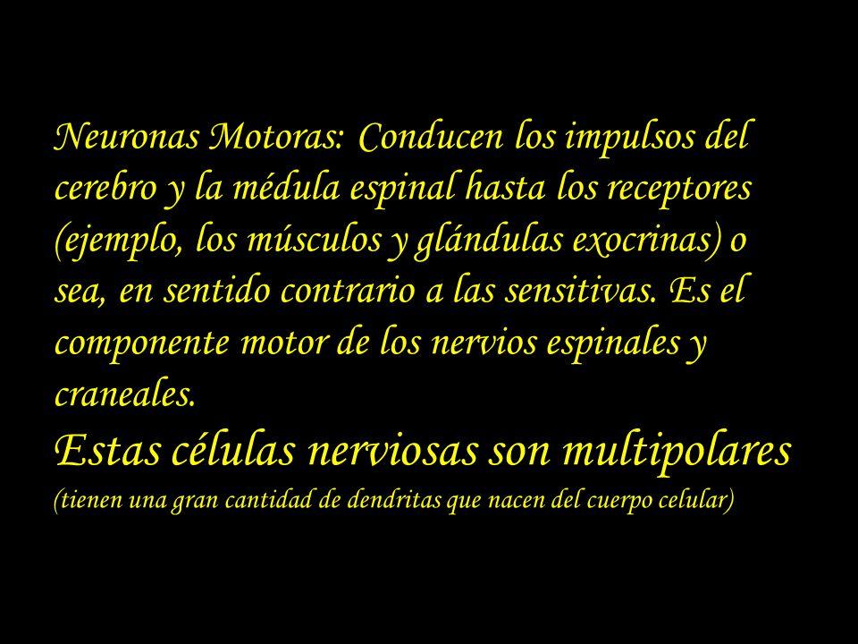 Neuronas Motoras: Conducen los impulsos del cerebro y la médula espinal hasta los receptores (ejemplo, los músculos y glándulas exocrinas) o sea, en sentido contrario a las sensitivas.