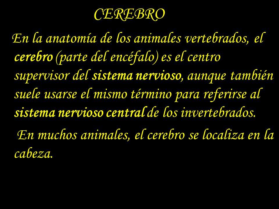CEREBRO En muchos animales, el cerebro se localiza en la cabeza.