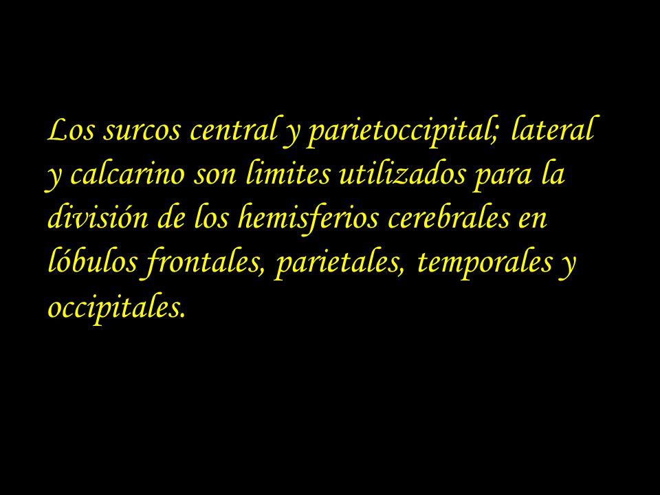 Los surcos central y parietoccipital; lateral y calcarino son limites utilizados para la división de los hemisferios cerebrales en lóbulos frontales, parietales, temporales y occipitales.