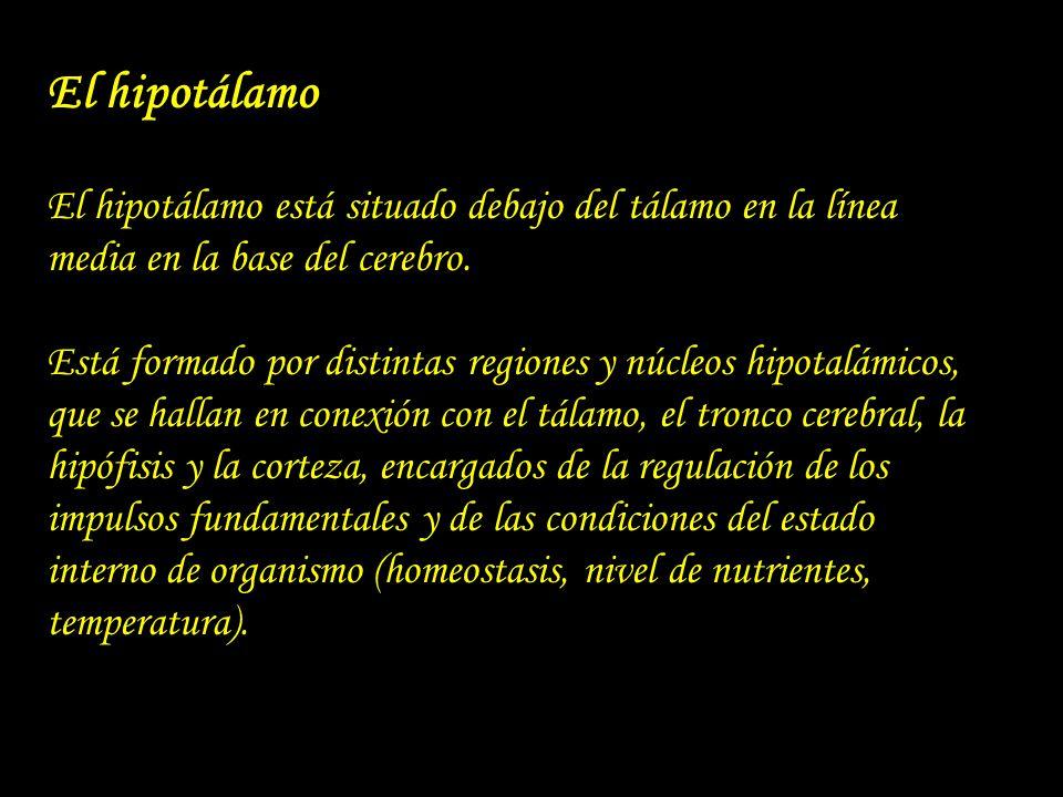 El hipotálamo El hipotálamo está situado debajo del tálamo en la línea media en la base del cerebro.