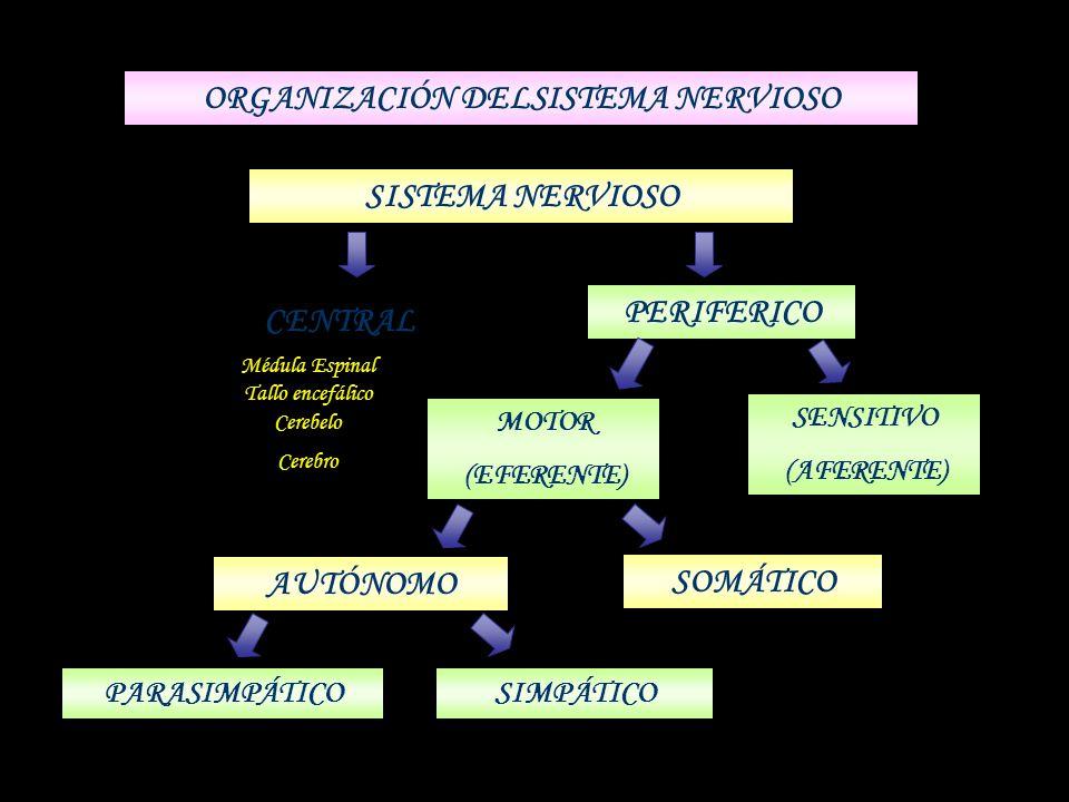 ORGANIZACIÓN DELSISTEMA NERVIOSO