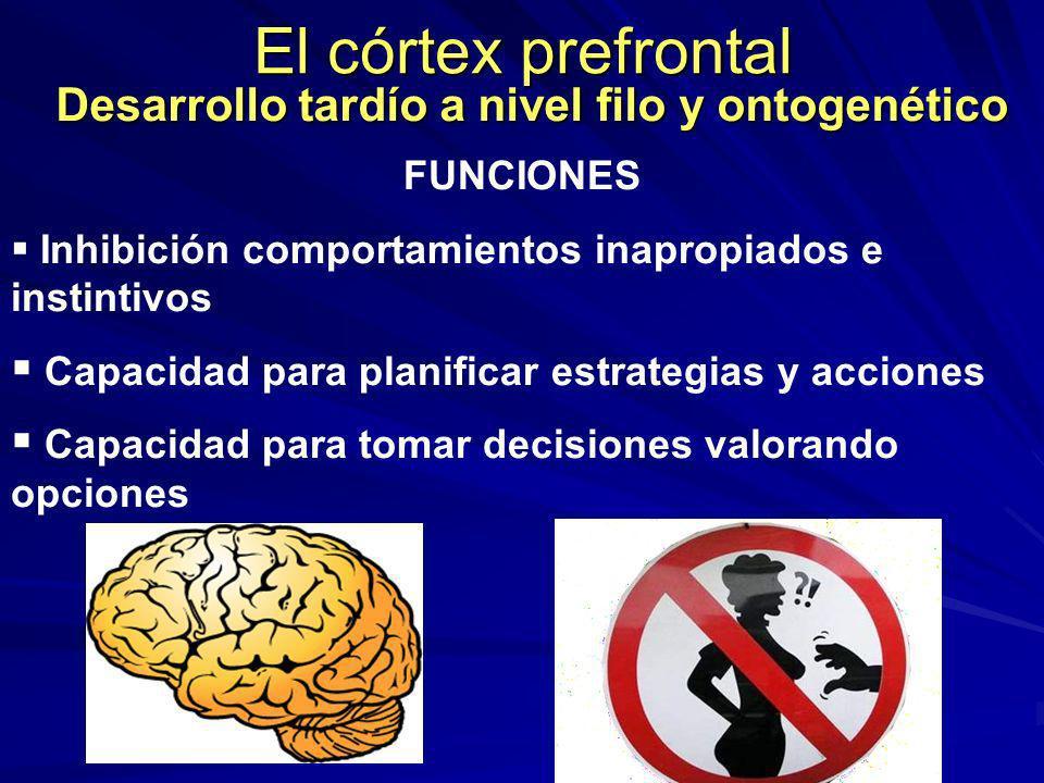 El córtex prefrontal Desarrollo tardío a nivel filo y ontogenético