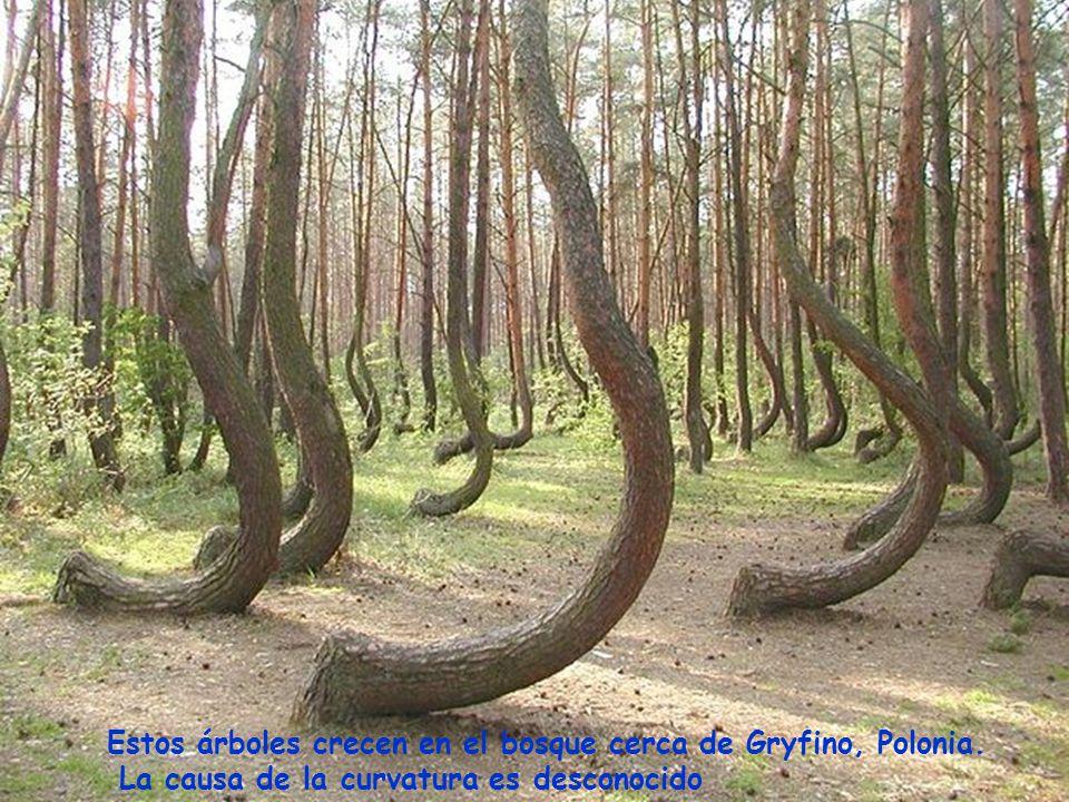 Estos árboles crecen en el bosque cerca de Gryfino, Polonia.