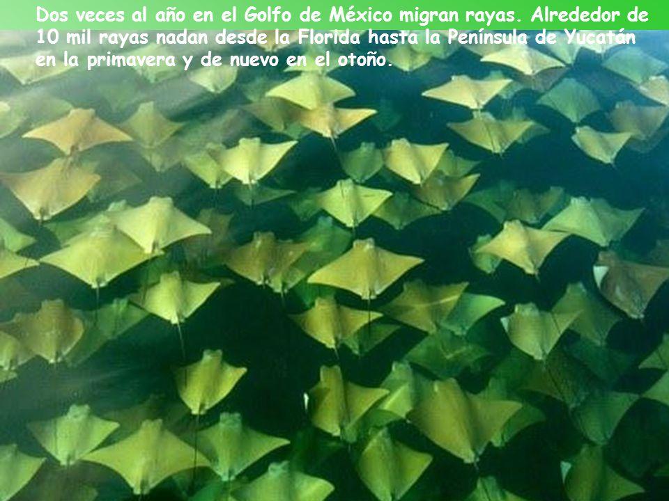 Dos veces al año en el Golfo de México migran rayas