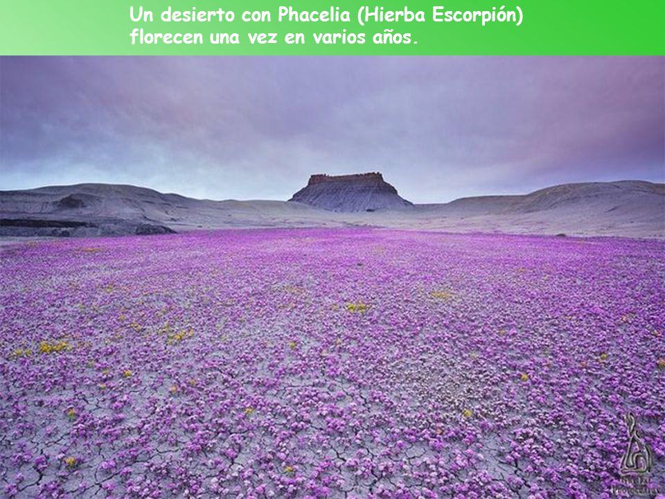 Un desierto con Phacelia (Hierba Escorpión) florecen una vez en varios años.