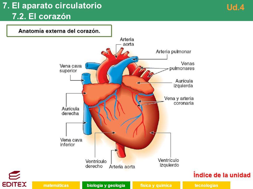 Anatomía externa del corazón.