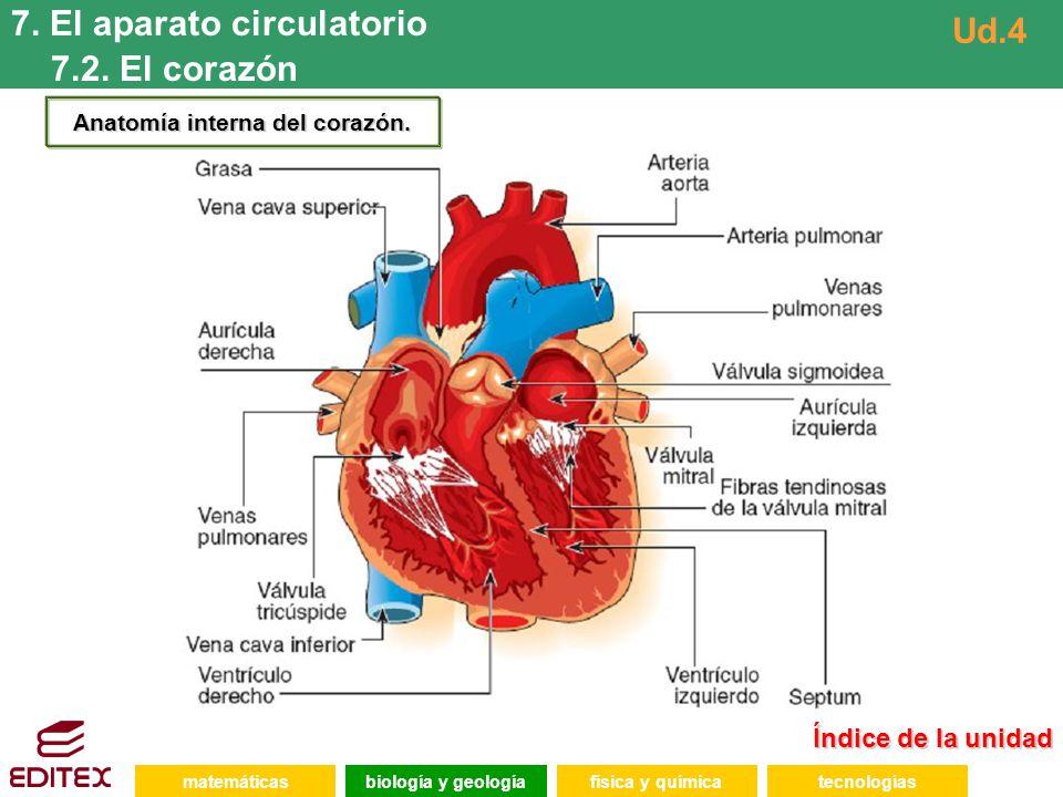 Anatomía interna del corazón.