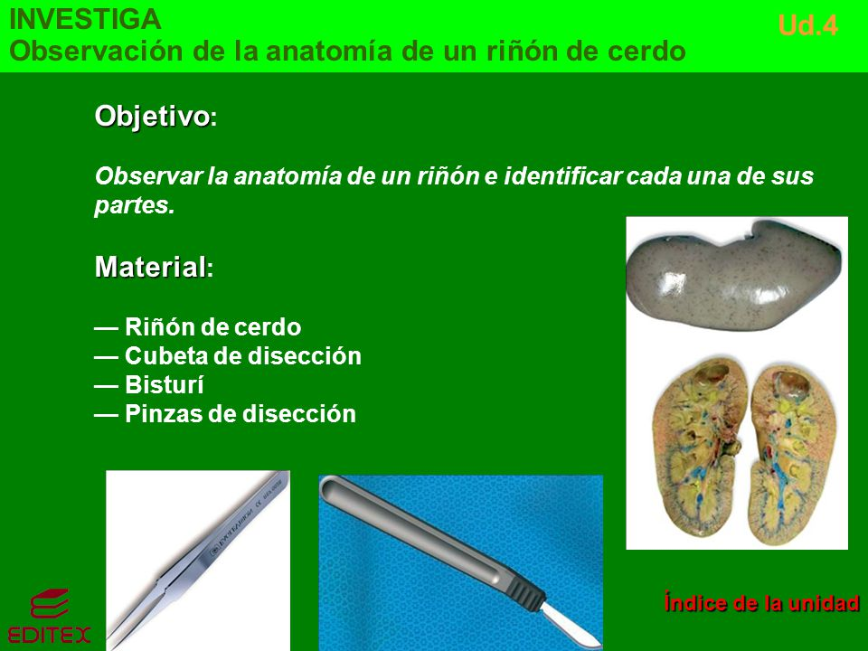Observación de la anatomía de un riñón de cerdo Ud.4