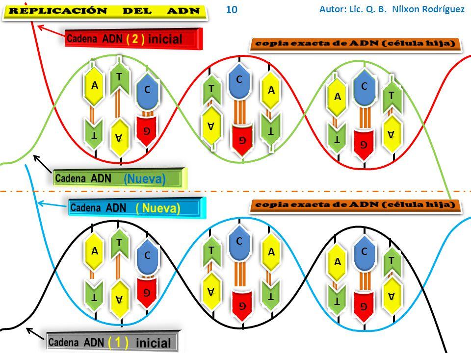 REPLICACIÓN DEL ADN 10 Cadena ADN ( 2 ) inicial