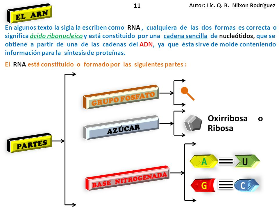A U G C Oxirribosa o Ribosa EL ARN GRUPO FOSFATO AZÚCAR PARTES 11