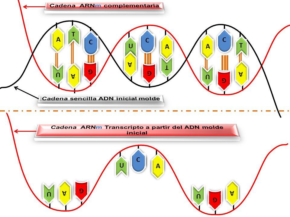 Cadena ARNm complementaria