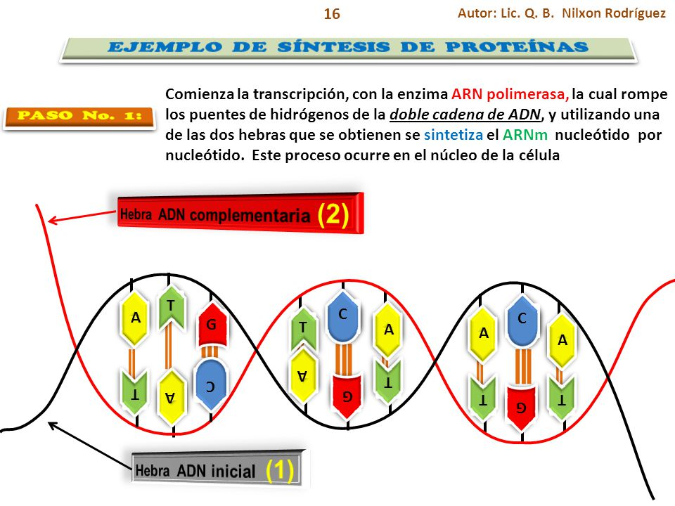 EJEMPLO DE SÍNTESIS DE PROTEÍNAS Hebra ADN complementaria (2)