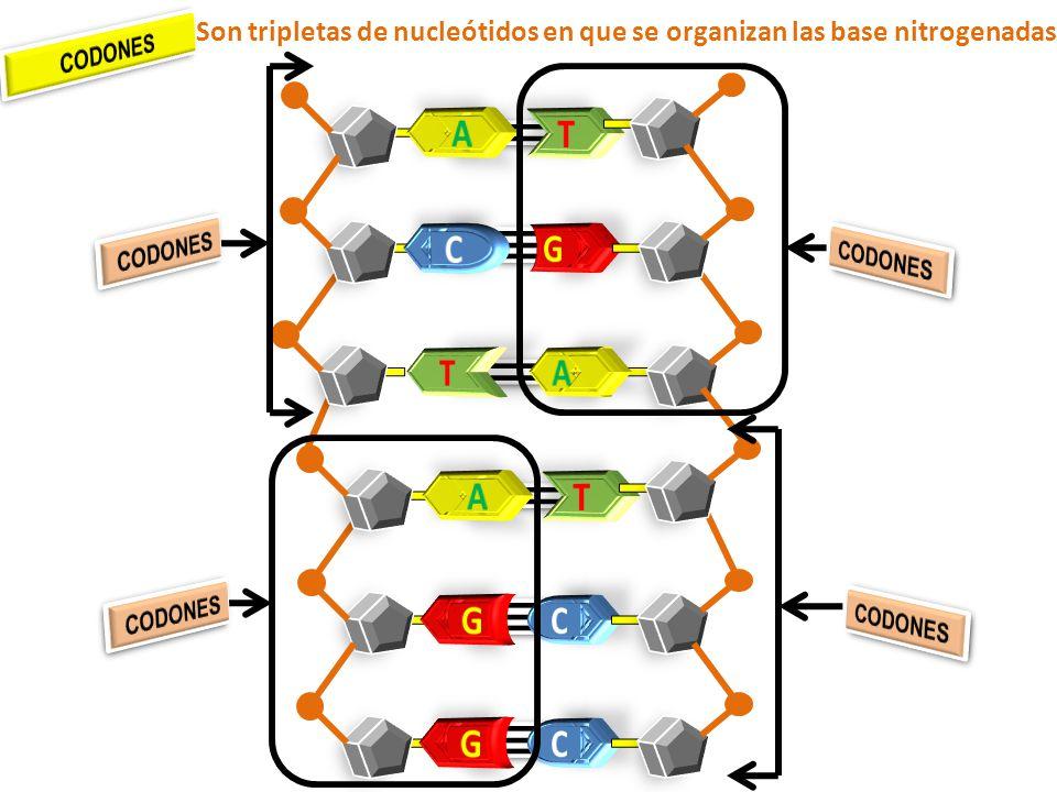Son tripletas de nucleótidos en que se organizan las base nitrogenadas