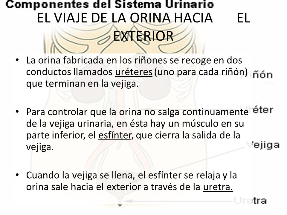 EL VIAJE DE LA ORINA HACIA EL EXTERIOR