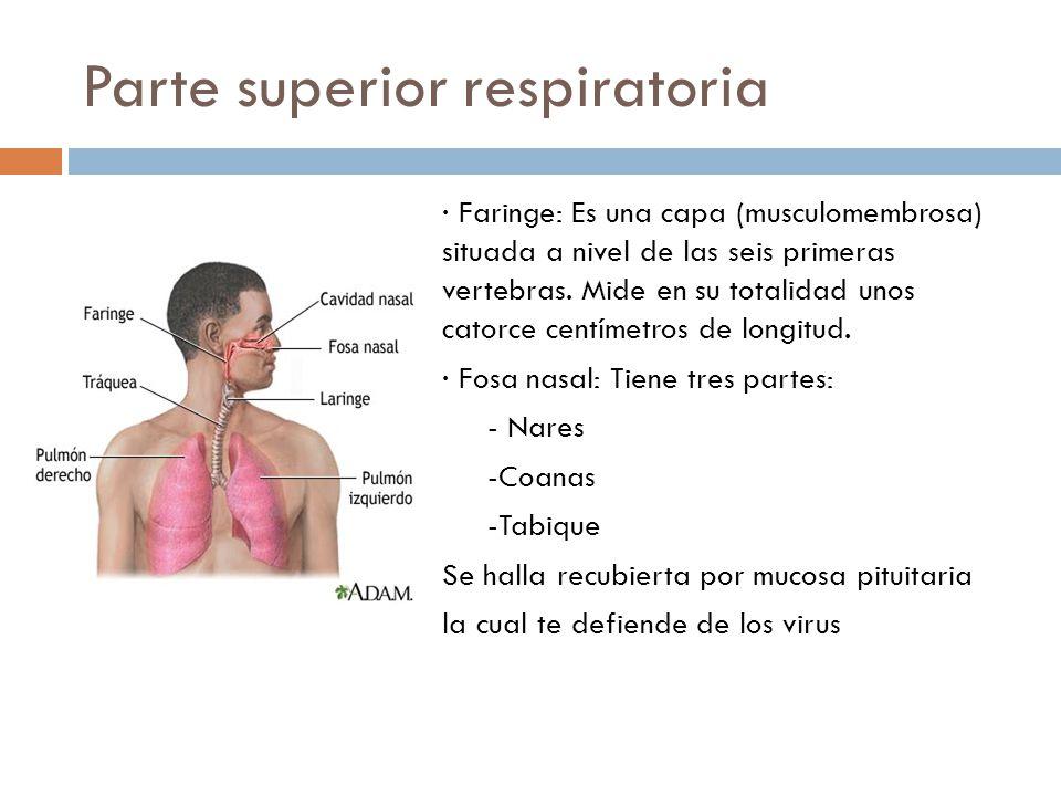 Parte superior respiratoria