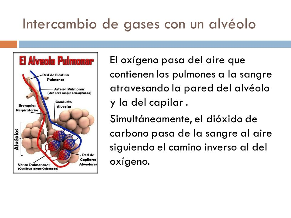 Intercambio de gases con un alvéolo