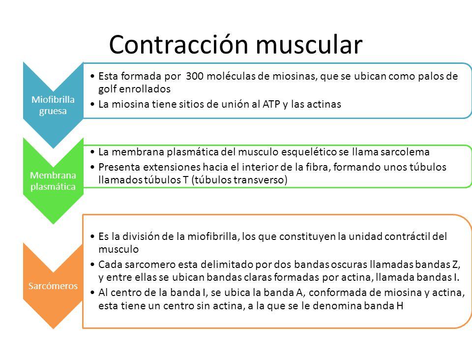 Contracción muscular Miofibrilla gruesa. Esta formada por 300 moléculas de miosinas, que se ubican como palos de golf enrollados.
