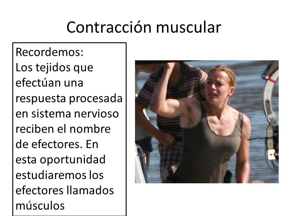 Contracción muscular Recordemos: