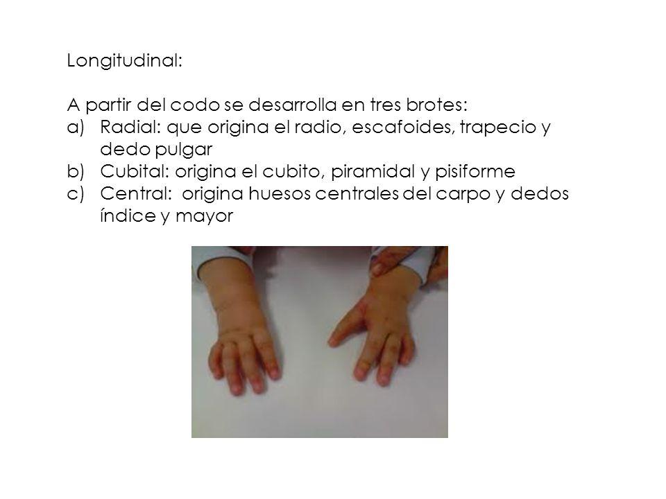Longitudinal: A partir del codo se desarrolla en tres brotes: Radial: que origina el radio, escafoides, trapecio y dedo pulgar.