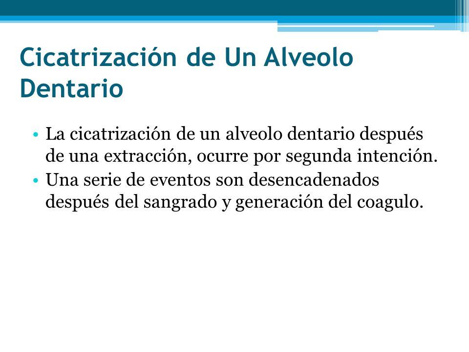 Cicatrización de Un Alveolo Dentario