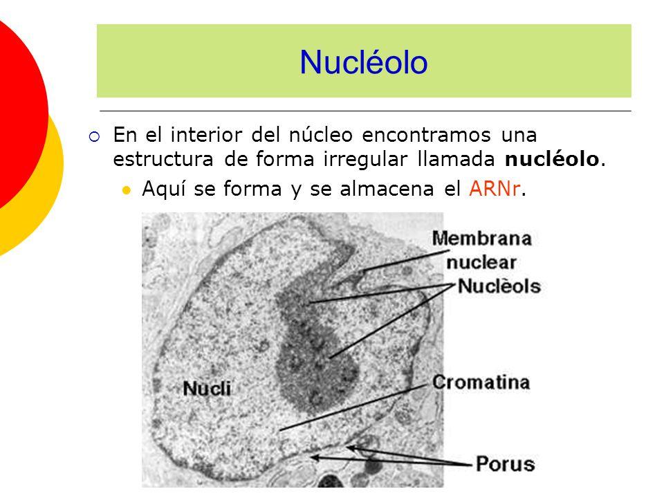 Nucléolo En el interior del núcleo encontramos una estructura de forma irregular llamada nucléolo.