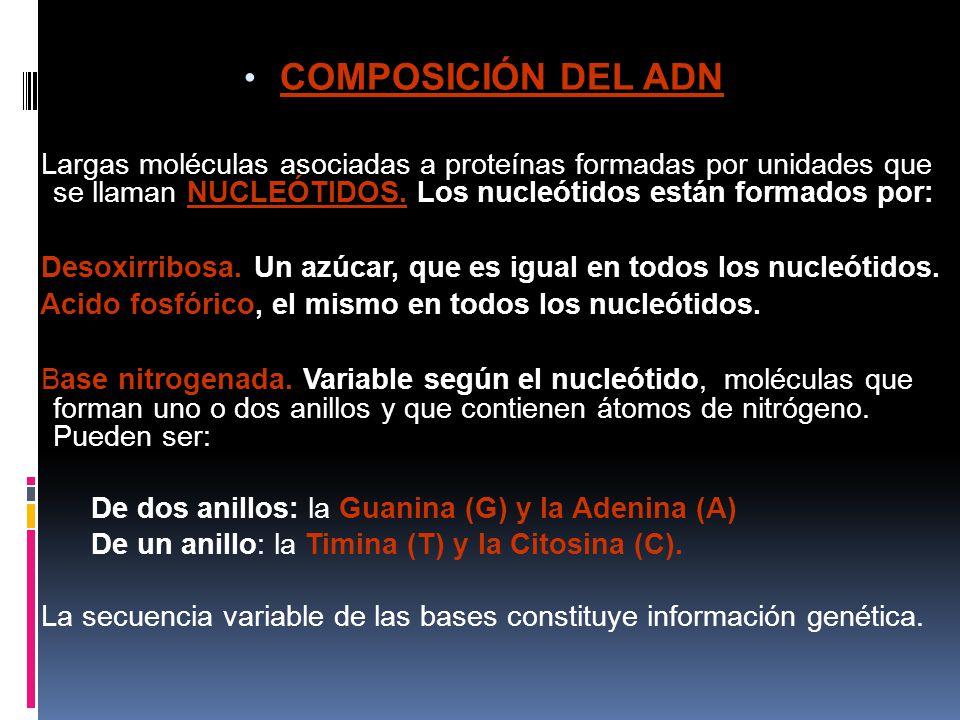 COMPOSICIÓN DEL ADN Largas moléculas asociadas a proteínas formadas por unidades que se llaman NUCLEÓTIDOS. Los nucleótidos están formados por:
