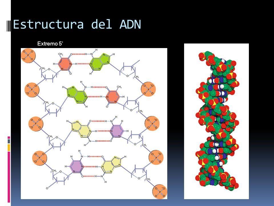 Estructura del ADN Extremo 5' Extremo 3' Extremo 5' Extremo 3'