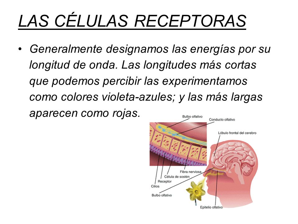 LAS CÉLULAS RECEPTORAS