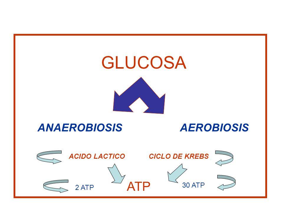 GLUCOSA ATP ANAEROBIOSIS AEROBIOSIS ACIDO LACTICO CICLO DE KREBS