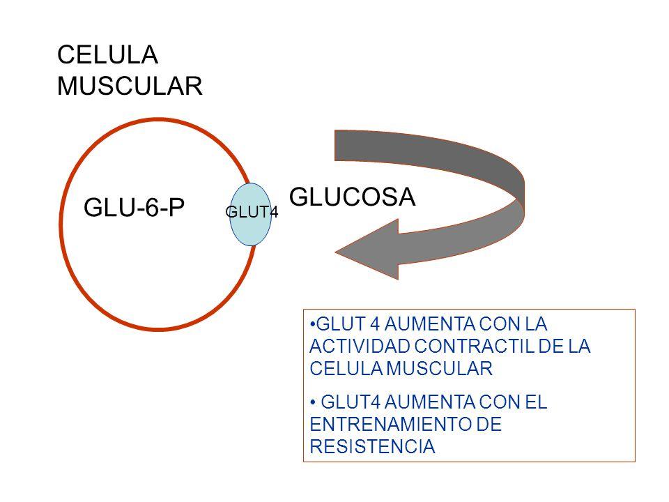 CELULA MUSCULAR GLUCOSA GLU-6-P