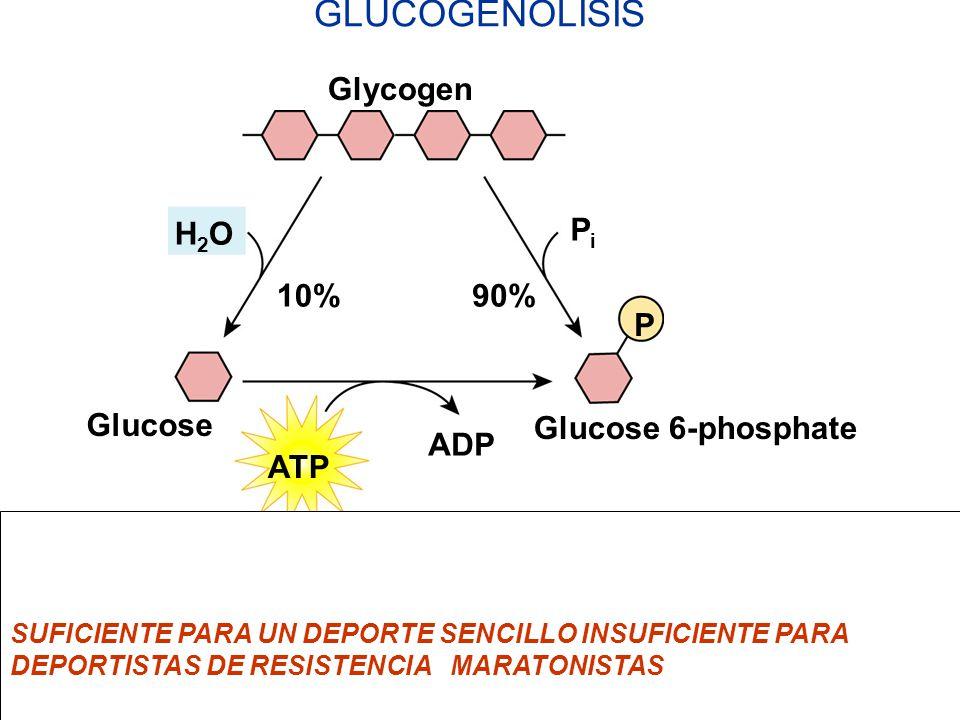 GLUCOGENOLISIS Glycogen H2O Pi 10% 90% P Glucose Glucose 6-phosphate
