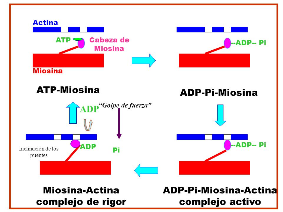 ADP-Pi-Miosina-Actina complejo activo ADP-Pi-Miosina