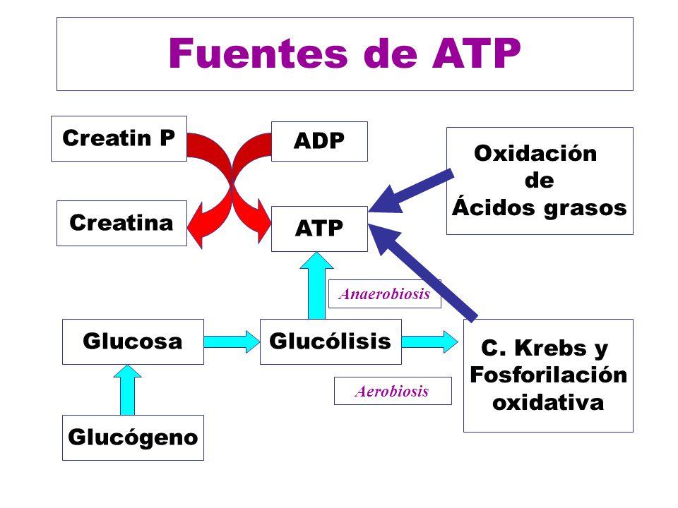 Fuentes de ATP ADP ATP Creatin P Creatina Glucólisis C. Krebs y