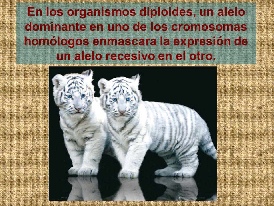 En los organismos diploides, un alelo dominante en uno de los cromosomas homólogos enmascara la expresión de un alelo recesivo en el otro.