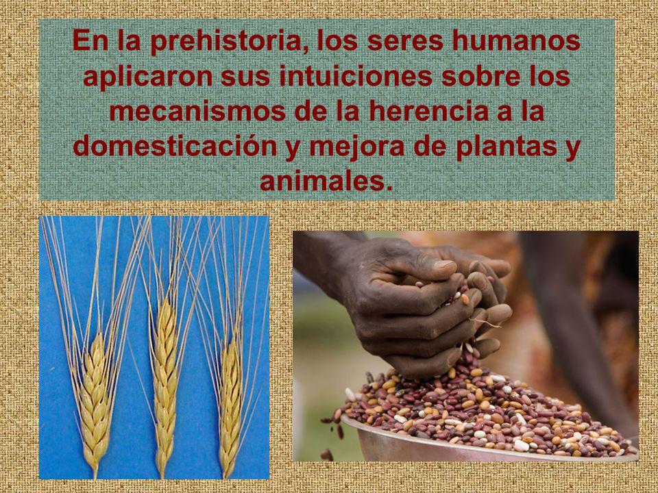 En la prehistoria, los seres humanos aplicaron sus intuiciones sobre los mecanismos de la herencia a la domesticación y mejora de plantas y animales.